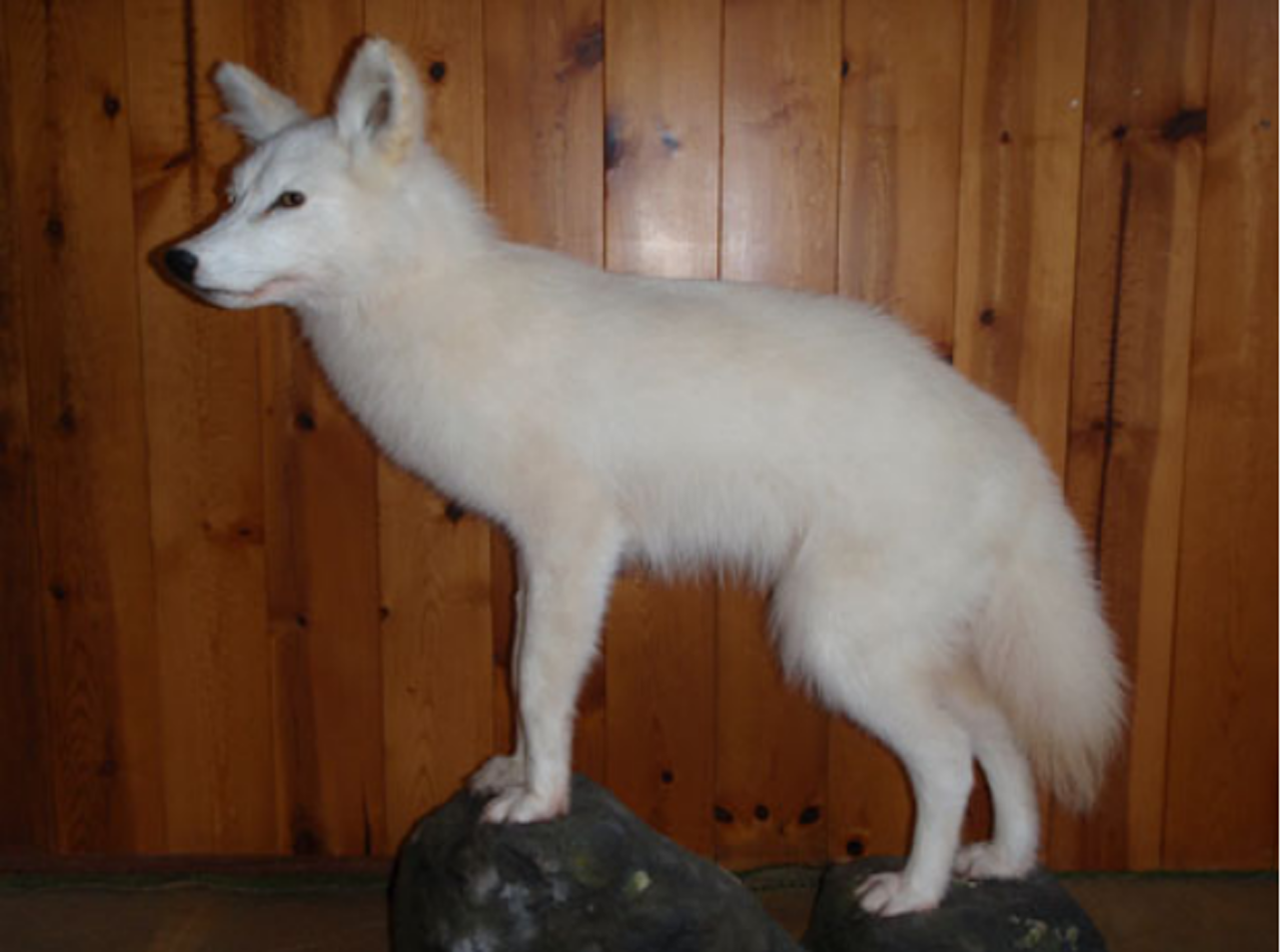 A taxidermied white Newfoundland coyote at Salmonier Nature Park.
