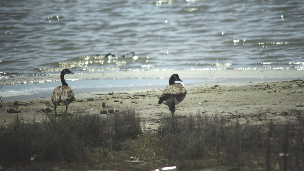 Some rare geese at the bay.