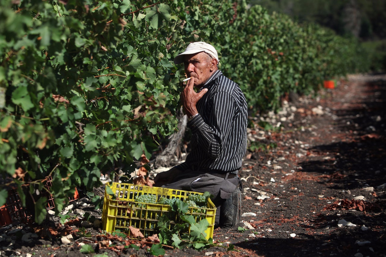 A man smokes as Sauvignon Blanc grapes are harvested for Bar-Maor Winery at daybreak on July 30, 2017 in Givat Nili in northern Israel.