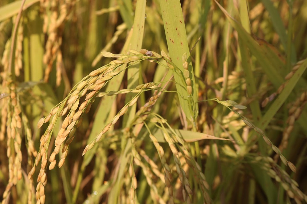 Salt Resistant Rice Could Feed A Climate Change Ravaged
