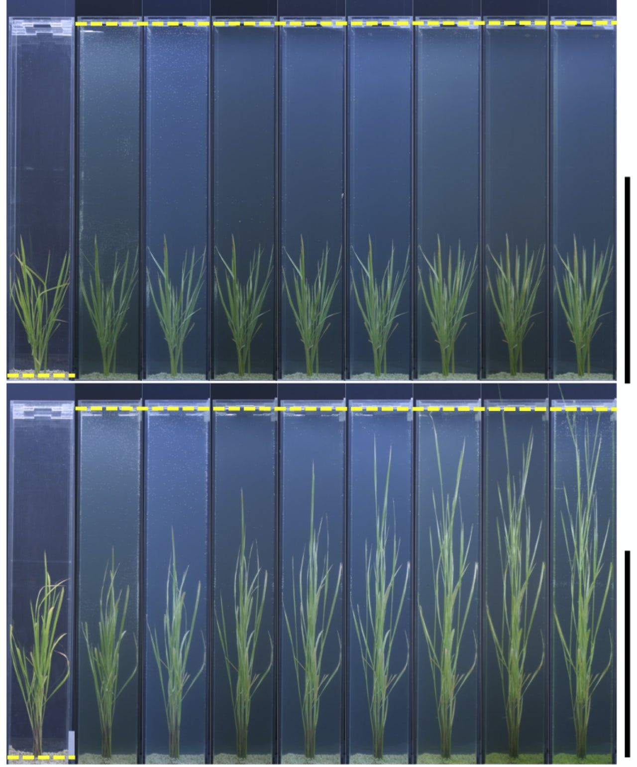 Compared to the control on the top row (non-deepwater) rice, stem elongation in deepwater rice is much more rapid and significant.