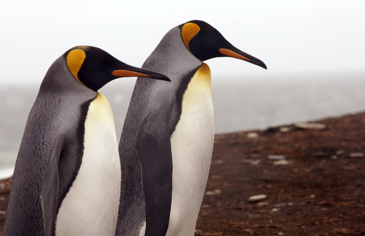 A pair of king penguins as photographed on Saunders Island in 2007.