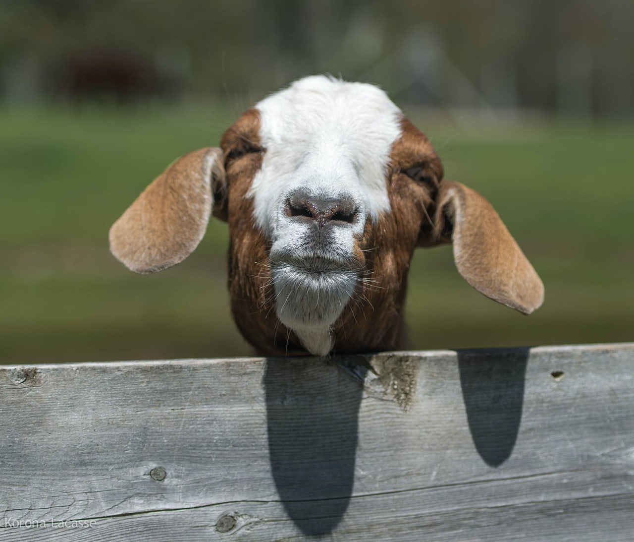 Take a look at this goat.