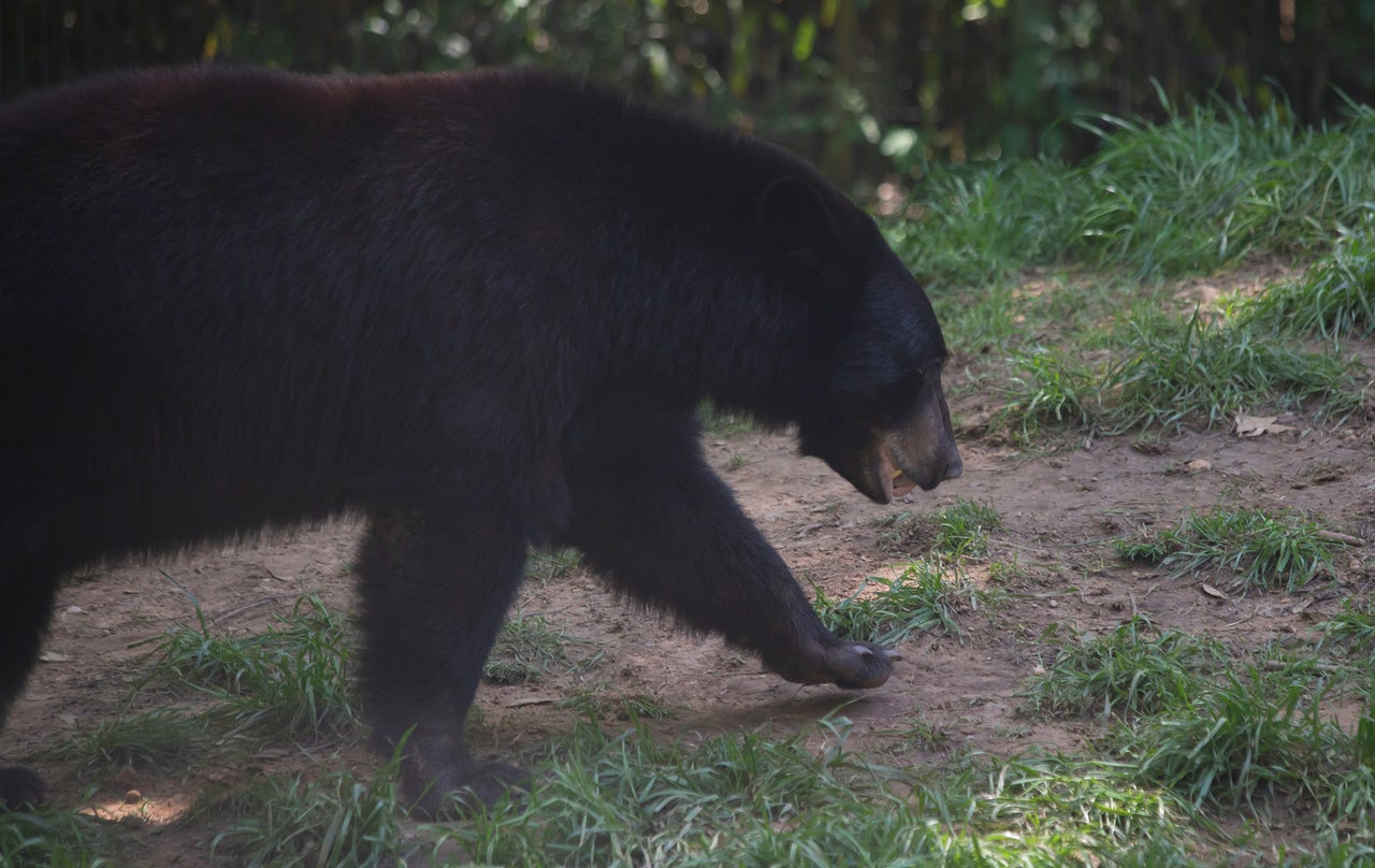 As of March 2016, the Louisiana black bear population stood at 750 — down from 80,000 a century ago.