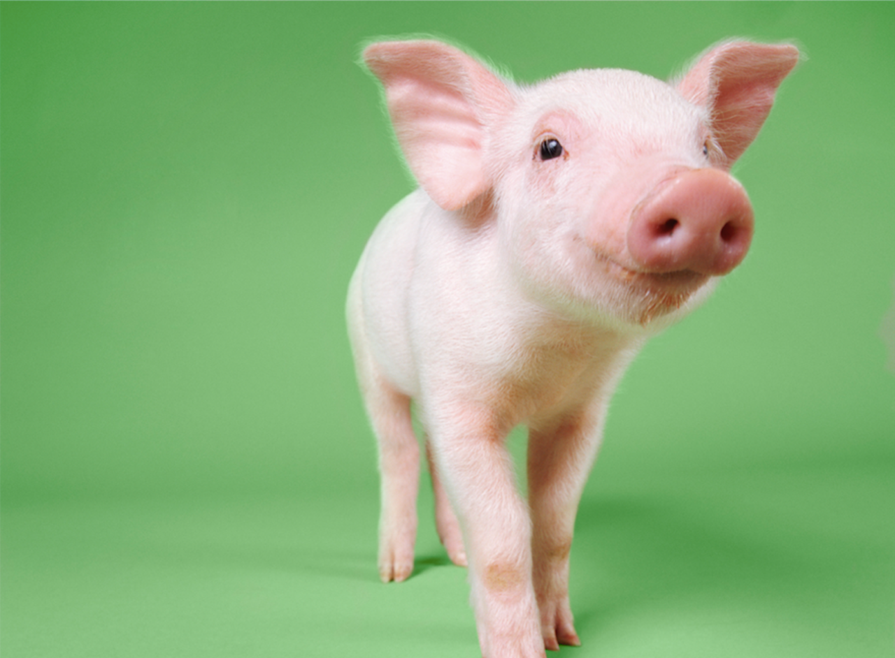 I Watched Too Many Videos About Cute Pigs And Now I Want To Stop Eating Them The Outline